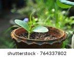 seedling grow indoor. | Shutterstock . vector #764337802