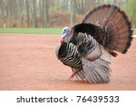 Strutting Male Wild Turkey...