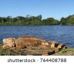 Iguana In Tortuguero  Costa Rica