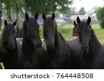 four young friesian horse...   Shutterstock . vector #764448508