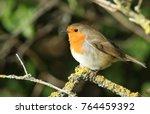 a pretty robin  erithacus... | Shutterstock . vector #764459392