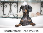 Stock photo a cute little dog dachshund black and tan taking a bubble bath with his paws up on the rim of the 764492845