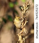 Small photo of American Goldfinch Eating