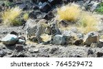 rare arabian leopard | Shutterstock . vector #764529472
