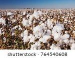 cotton plant  gossypium... | Shutterstock . vector #764540608