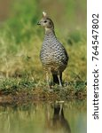 Small photo of Scaled Quail, Callipepla squamata,adult at pond drinking, Starr County, Rio Grande Valley, Texas, USA, May