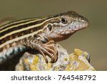 Texas Spotted Whiptail ...