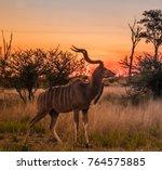 Male Greater Kudu At Sunset ...