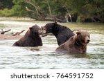 The mating games of bears on the Kurilskoye Lake, Kamchatka, Russia