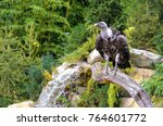 Griffon  Vulture Standing On...