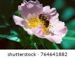 Bee On A Pink Flower . Macro Of ...
