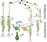 moss life cycle. diagram of a... | Shutterstock .eps vector #764706016