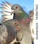 Great Grey Pigeons Closeup