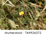 Small photo of Flowers of an Indian Jointvetch (Aeschynomene indica)
