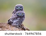 two little owl  athene noctua ... | Shutterstock . vector #764967856