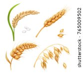 wheat  barley  rice and oats.... | Shutterstock .eps vector #765009502