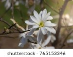 white magniolia blooming .... | Shutterstock . vector #765153346