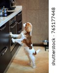 the dog a king charles spaniel... | Shutterstock . vector #765177448