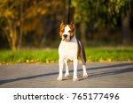 american staffordshire terrier...   Shutterstock . vector #765177496