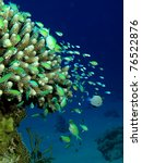 Small photo of Acropora Coral (Acropora humilis)