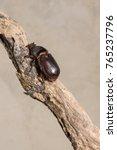 a coconut rhinoceros beetle one ... | Shutterstock . vector #765237796