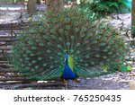 A Peacock Spreading Its...