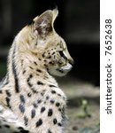 Portrait Of Serval