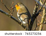 british robin  erithacus... | Shutterstock . vector #765273256