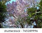 tree chorisia speciosa  ceiba... | Shutterstock . vector #765289996