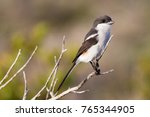 close up of female common fiscal | Shutterstock . vector #765344905