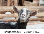 a funny gray white goat with...   Shutterstock . vector #765346462