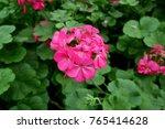 pink flowers of geranium plant | Shutterstock . vector #765414628