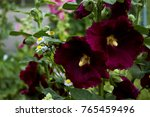 Small photo of Closeup of beautiful maroon hollyhock alcea flower on background of grass in the garden, malva rose