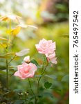 Stock photo roses in the garden roses are beautiful with a beautiful sunny day 765497542