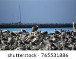 juvenile red footed booby a... | Shutterstock . vector #765531886