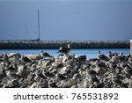 juvenile red footed booby a... | Shutterstock . vector #765531892