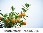 kumquat tree. together with... | Shutterstock . vector #765532216