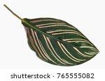calathea majestica m.kenn cu... | Shutterstock . vector #765555082