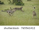three juvenile cheetahs playing ... | Shutterstock . vector #765561412