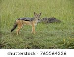 Small photo of Black-backed (silver-backed) jackal, Masai Mara Game Reserve, Kenya