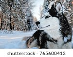 Husky Dog Lying In The Snow....