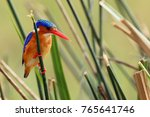 The Malachite Kingfisher ...