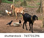 Small photo of Livestock in an enclosure. Two goats, chicken and crows co-habit amiably.