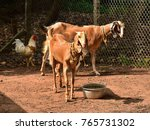 Small photo of Livestock in an enclosure. Two female goats and chicken co-habit amiably.