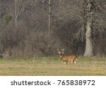 White Tailed Deer Buck In The...