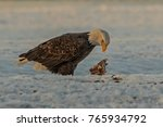 morning meal   a bald eagle... | Shutterstock . vector #765934792