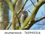 Dunnock  Prunella Modularis ...