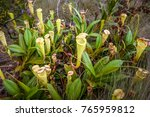 nepenthes  carnivorous plant...   Shutterstock . vector #765959812