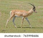 closeup of grant's gazelle ... | Shutterstock . vector #765998686