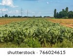 a bed of green  ripe cabbages | Shutterstock . vector #766024615